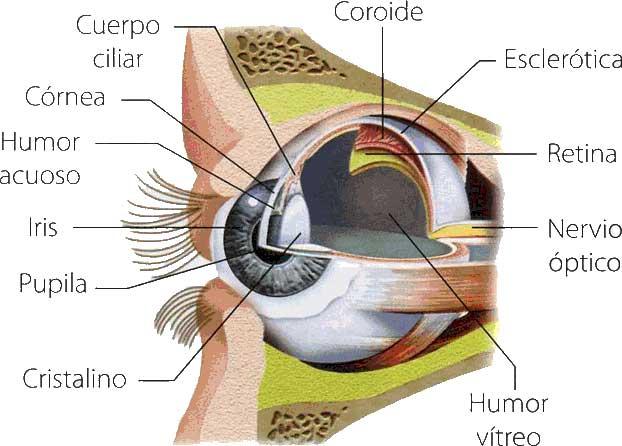 Corte del globo ocular